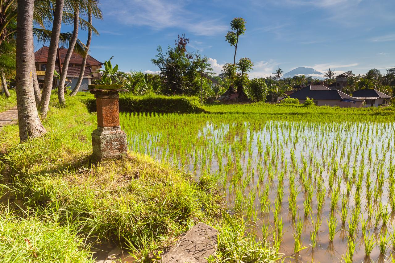 Рисовое поле в районе Убуда с верхушкой вулкана на горизонте, Бали, Индонезия