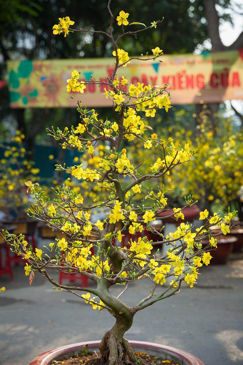 Вьетнамский Новый год: Цветущее дерево персика